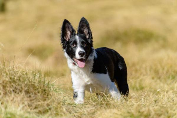 Border collie caracteristicas