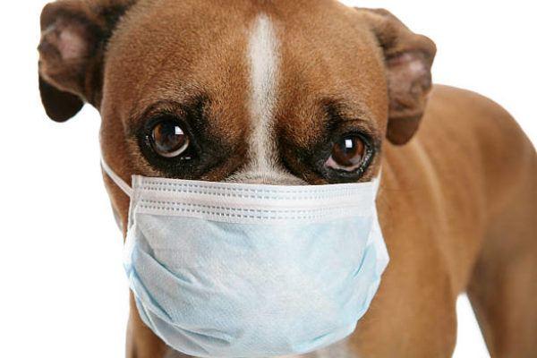 Coronavirus perros sintomas y tratamiento