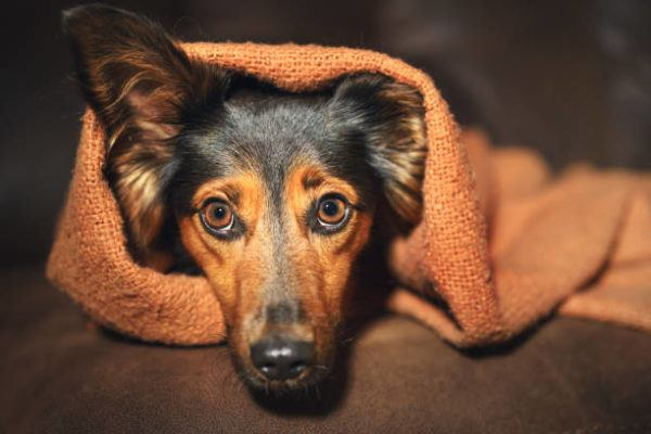 Como saber si mi perro tiene ansiedad y tratamientos