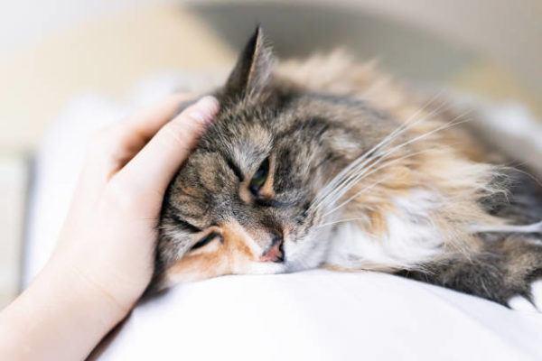 Coronavirus felino sintomas tratamiento