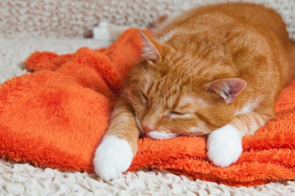 Coronavirus gatos sintomas y tratamiento