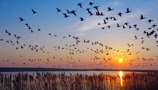Aves migratorias que son donde migran cuales estan en espana