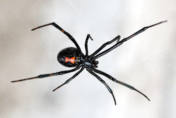 Viuda negra habitat tamano peligros toxicidad