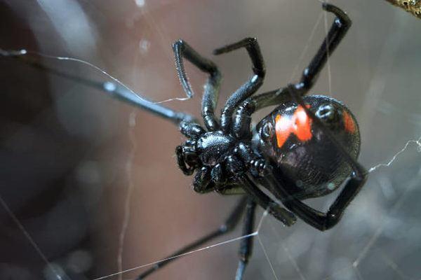 Viuda negra peligros toxicidad