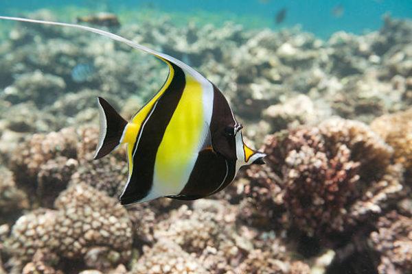 Los peces mas bonitos del mar  idolo moro