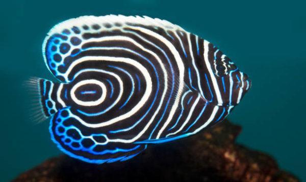 Los peces mas bonitos del mar  pez angel emperador