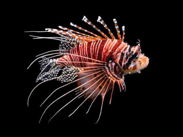 Los peces mas bonitos del mar  pez leon