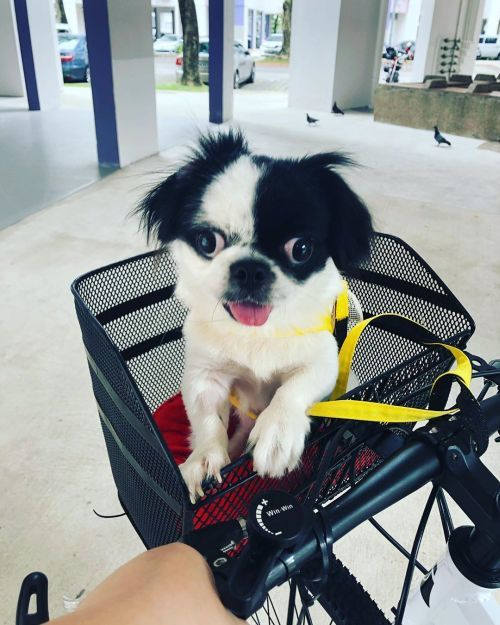 spaniel-japones-instagram-day-lendoyle