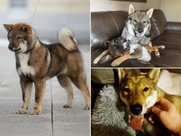 perros-shikoku-inu